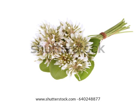 Trifolium repens-White clover isolated on white background