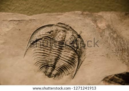 Trilobite arthropod fossil  #1271241913