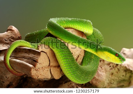 Stock Photo Trimeresurus albolaris insularis, green tree pit viper, white-lipped pit viper, white-lipped tree viper, white-lipped bamboo pit viper