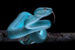 Trimeresurus (cryptelytrops) insularis, Venomous Viper - Reptile Snake Photo Series