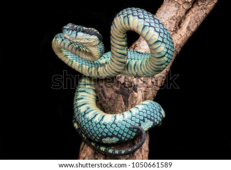 Shutterstock Trimeresurus trigonocephalus is a sexually dimorphic, mid-sized, cylindrical species. These snakes measure 20–25 cm (7.9–9.8 in) at birth, and males grow to a maximum total length of 60–75 cm