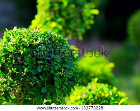 Trimmed bushes in a garden.