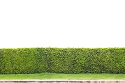 trimmed shrub fence isolated on white with clipping path