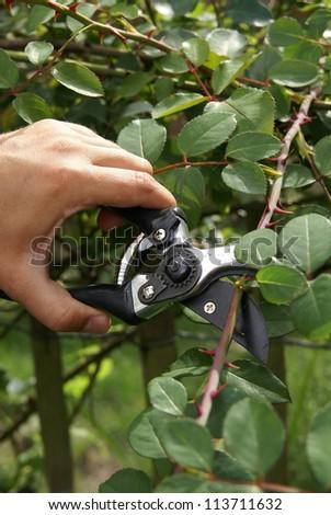 Trimming a rose bush