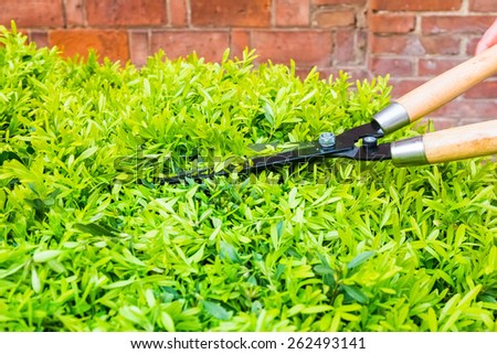 trimming bushes with garden scissors in spring