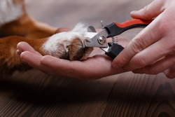 Trimming claws. Manicure and pedicure grooming, dog Jack Russell Terrier
