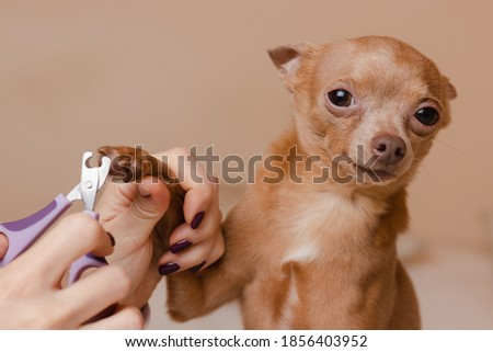 Trimming dog claws at home. Manicure for cute Toy Terrier  ストックフォト ©