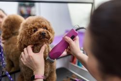 Trimming dog hair with clipper, grooming puppy in salon. Professional animal care. Close-up poodle grooming. Copy space