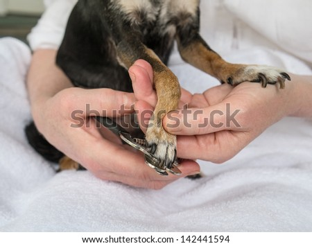 Trimming Small Dog's Toenails or Claws with Clipper.