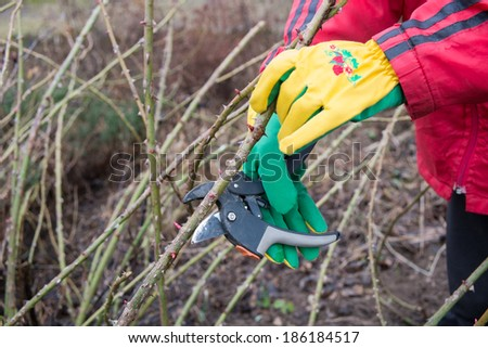 trimming the rose bushes with secateurs in early spring