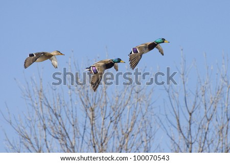 Trio Mallards
