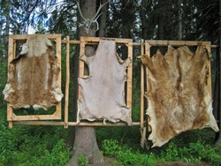 Trio of Bear Pelts Drying in the Forest
