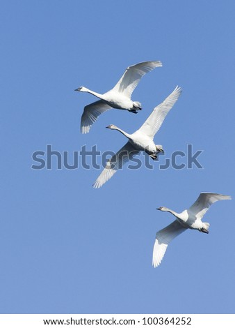 Trio of Trumpeter Swans in front of Blue Sky