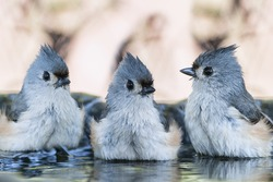Trio of Tufted Titmice in Birdbath