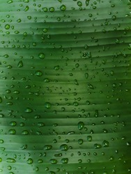 Tripical banana palm leaf with drops of water rainy season ,green background