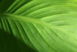 Tripical green leaf texture. Nature background. Selective focus.