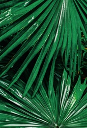 tripical green palm leaf texture background , water drops on foliage