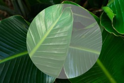 Tripical leaves background