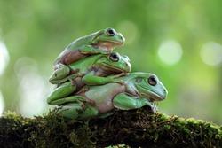Triple australian white tree frog on moss, dumpy frog on branch, animal closeup, amphibian closeup