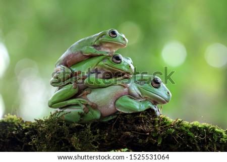 Triple australian white tree frog on moss, dumpy frog on branch, animal closeup, amphibian closeup #1525531064