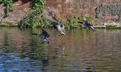 Triplet of geese landing on water