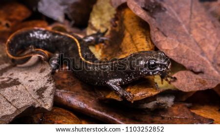 Triturus dobrogicus / Danube crested newt #1103252852