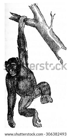 Troglodyte chimpanzee robust chimpanzee, vintage engraved illustration. Natural History of Animals, 1880.
