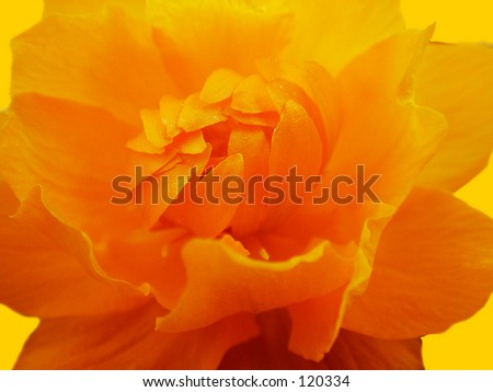 Trolius Asiaticus   close-up of flower - stock photo
