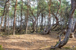 Trollskogen nature reserve on Oland, Sweden. Untouched pine forest in Sweden, bent trees caused by growing in the wind. Europe