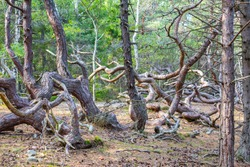 Trollskogen nature reserve on Oland, Sweden. Untouched pine forest in Sweden, bent trees caused by growing in the wind. Europe. coastal pine