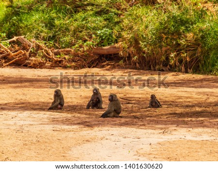 Troop four olive baboon, anubis baboon, papio anubis, with babies, sitting on dry riverbed Ewaso Ng'iro river,  Samburu national reserve, Kenya, East Africa