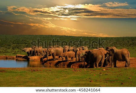 Troop, herd of elephant, Loxodonta africana, drinking at the water hole in late afternoon in Addo Elephant National Park Stock photo ©