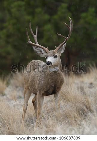Trophy-class Mule Deer Buck in light snowfall, against a backdrop of Ponderosa Pines