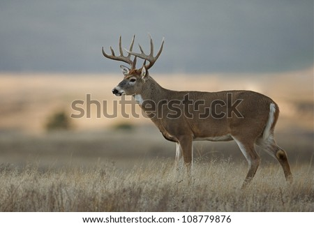 Trophy class white tailed buck deer in midwest farm country