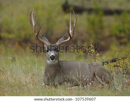 Trophy Mule Deer Buck bedded in autumn vegetation