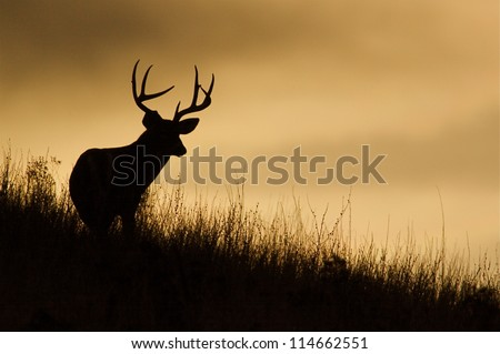 Trophy White-tailed Buck Deer silhouette; midwestern deer hunting, midwest Whitetails / White tail / White-tail / Whitetailed / White tailed Stock photo ©