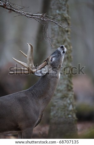 Trophy Whitetail Buck Deer at a scrape / licking branch, Great Smoky Mountains National Park, Tennessee / North Carolina.  white tail / white-tailed / white-tail / white tailed / whitetailed
