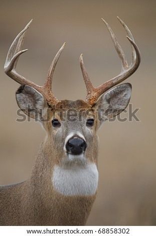 Trophy Whitetail Buck Deer, isolated portrait