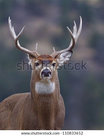 Trophy Whitetail Buck Deer, isolated portrait, Palouse Prairie, Montana, USA; big game hunting; white-tailed, white-tail, white tailed, whitetailed