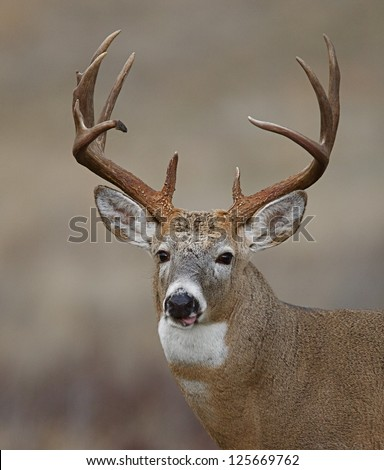 Trophy Whitetail Buck Deer midwestern deer hunting Illinois Ohio Wisconsin Minnesota Michigan Indiana Iowa Missouri Kentucky Nebraska Dakotas white tail / white-tailed / tailed / white-tail