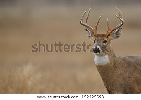 Trophy Whitetail Buck Deer Stag portrait midwest deer hunting big game season for White Tailed deer in midwestern states