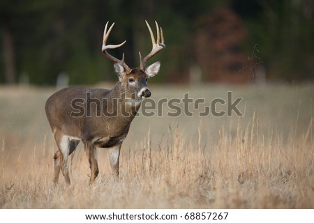 Trophy Whitetail Buck deer walking through hay field in the Appalachian Mountains, Smoky Mountains National Park, Tennessee / North Carolina;  white-tailed / white-tail / white tailed / whitetailed