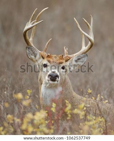 trophy Whitetail Buck in agricultural prairie habitat, deer hunting season portrait