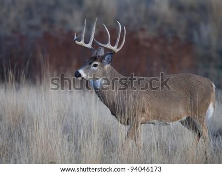 Trophy Whitetail Buck in Prairie Habitat