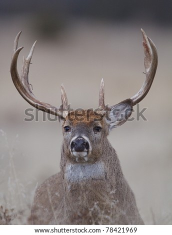 Trophy Whitetail Buck Portrait