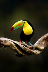 Tropic bird. Keel-billed Toucan, Ramphastos sulfuratus, bird with big bill sitting on branch in the forest, Costa Rica. Nature travel in central America. Beautiful bird in nature habitat.