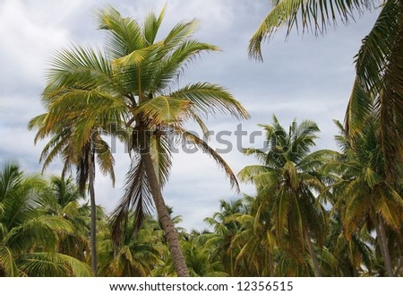 Tropic palms on a famous island Half Moon Caye. Caribbean sea. Belize