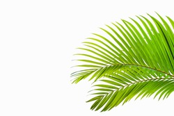 tropical and coconut leaf isolated on white background, summer background