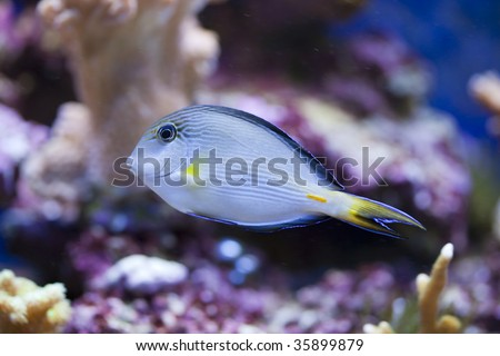 Brackish Water Fish on Photo   Tropical Animal In A Salt Water Fish Tank Aquarium Under Water