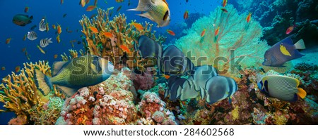Tropical Anthias fish with net fire corals on Red Sea reef underwater #284602568